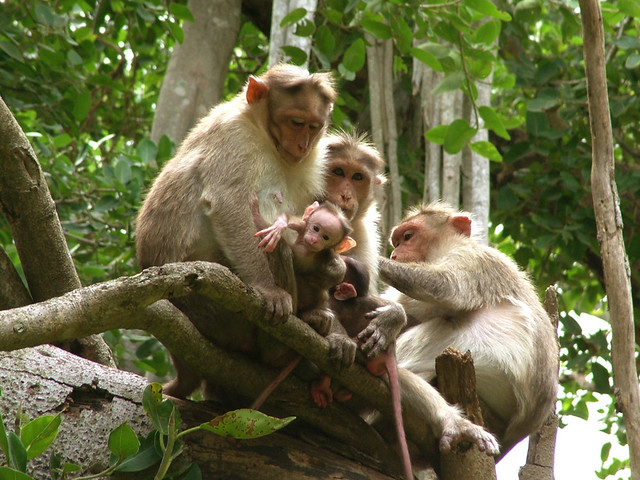 The Monkey Family - Big Banyan Tree