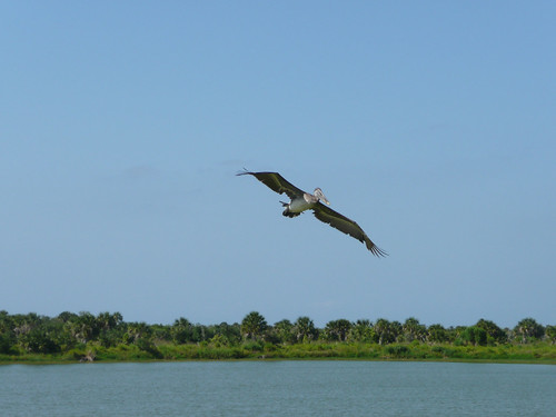 The brown pelican flies again | by USFWS/Southeast
