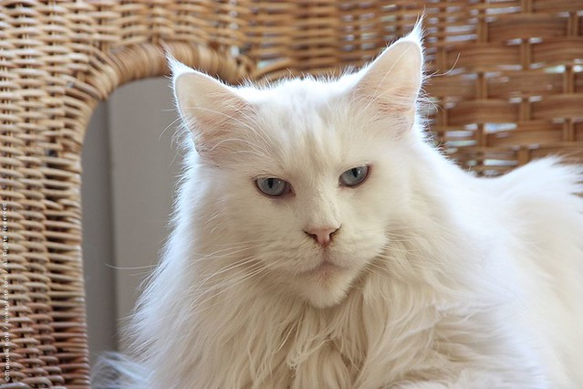 Maine Coon White Portrait | One of my Maine Coon Ladies toda ...
