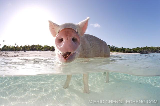 Split pig, Bahamas