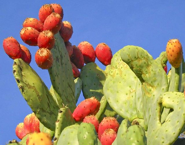 "prickly pear cactus | ""tuna"" fruits from a prickly pear ... - photo#22"