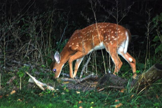 White tail deer 2 explore bobmacinnes photos on flickr b