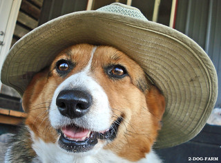 a true Montana cowboy, Corgi Style | by 2-Dog-Farm