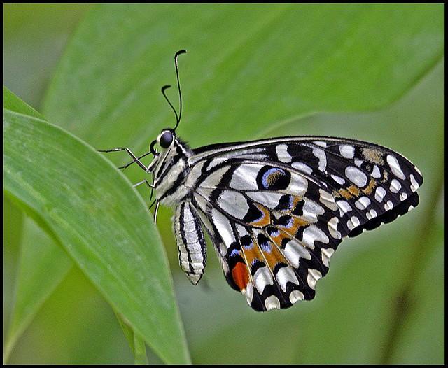 Lemon Butterfly, Citru...