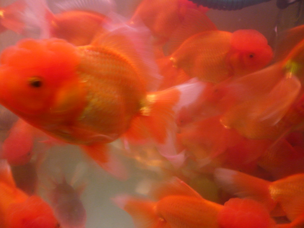Brain outside head goldfish shanghai china jpg cory for Golden fish pipe