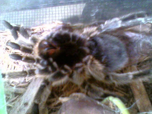 Tarantula Molting My Rose Hair Tarantula Beg To Molt Thi Flickr