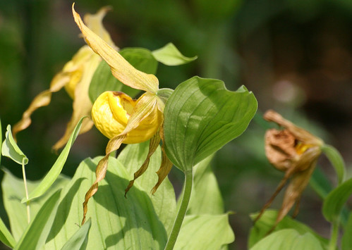 Yellow lady's slipper, Cypripedium pubescens