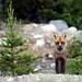 Grand renard pas peureux/Large fox not timorous