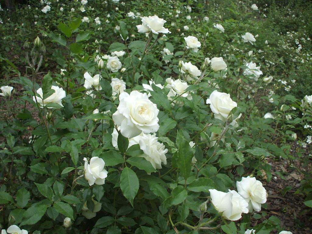 rose b schelbl ten rose 39 schneewittchen 39 1206201001 flickr. Black Bedroom Furniture Sets. Home Design Ideas