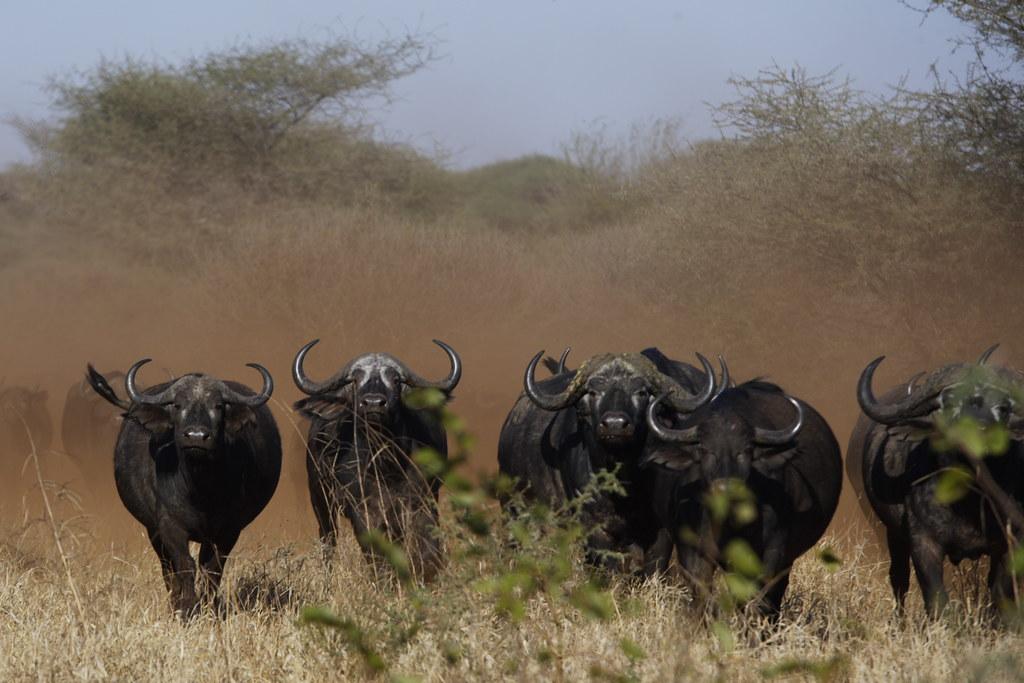 Buffalo Stampede Kim Wolhuter Flickr