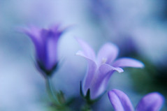 Campanula (indoor plants) | by AlexEdg
