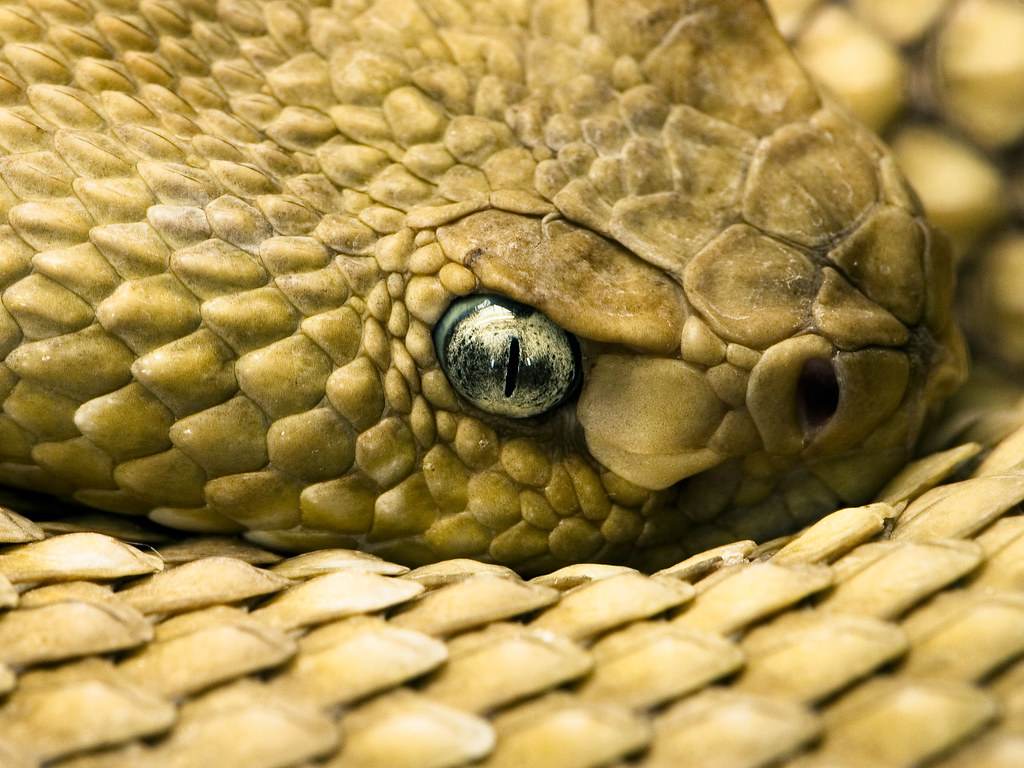 rattlesnake eye | This snake seems to become my favorite ...