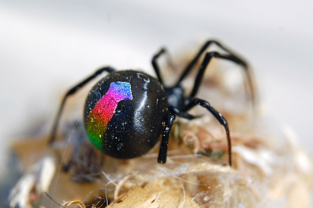 Rainbowback Spider - A Rare Finding | Taken with my new ...