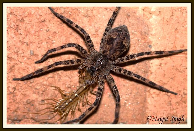 Wolf Spider | Flickr - Photo Sharing!