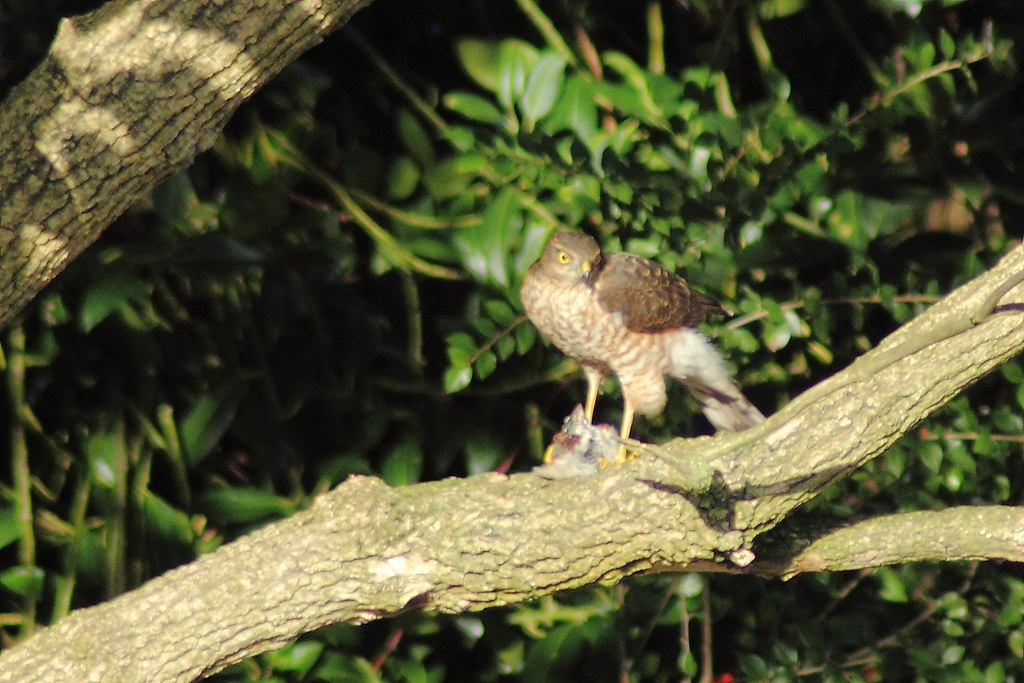how to catch a sparrowhawk