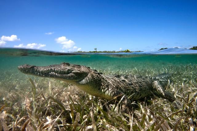 American crocodile jardines de la reina cuba flickr photo sharing - Jardines de la reina ...