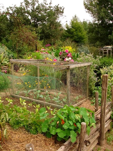 Veg netted to keep the chickens out with Nasturtiums for c… | Flickr