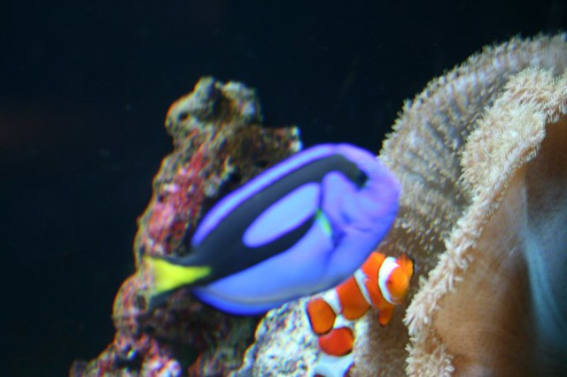 Dori and nemo blue tang and clown fish kenya allmond for Blue clown fish