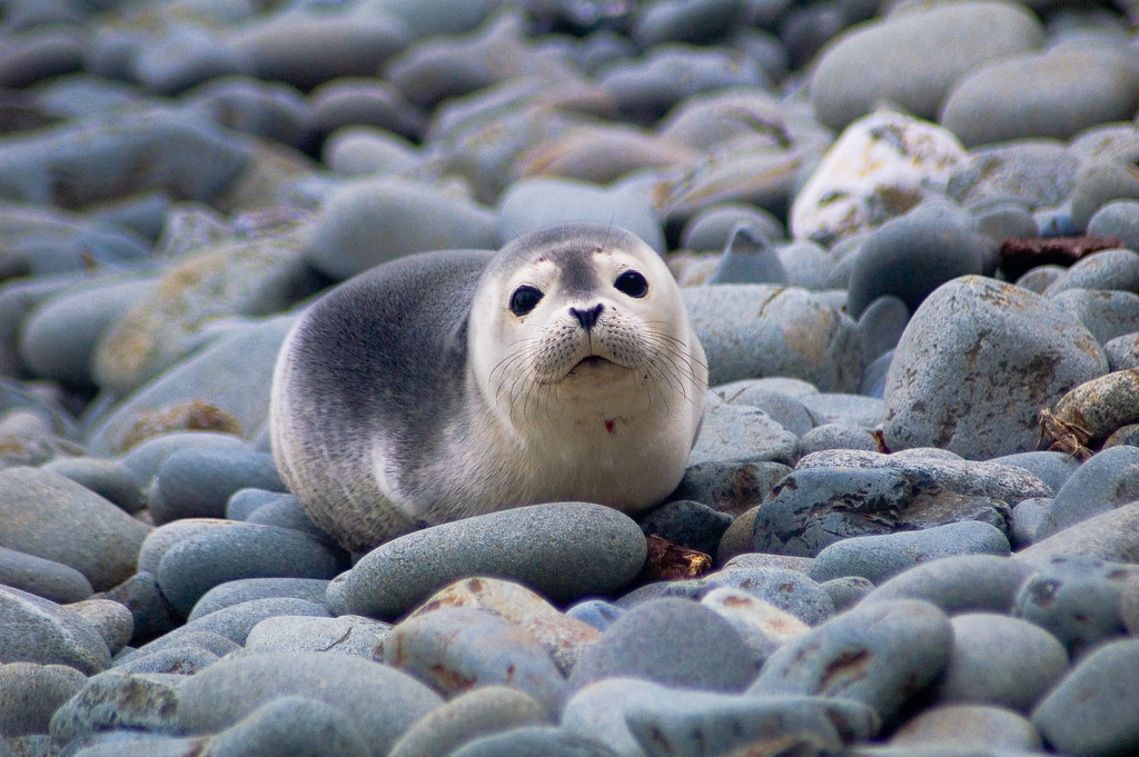 Harbor Seal Pup | The girls and I spent the past few days ...
