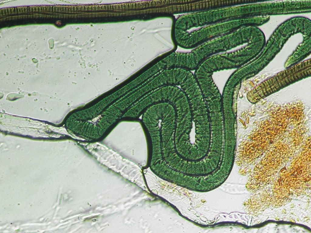 Microscopy artifact 06 | Oscillatoria drying slide with ...