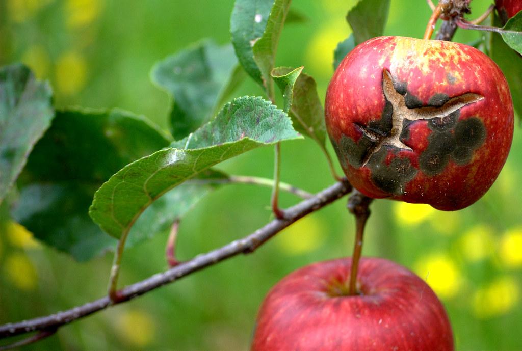 Venturia Inaequalis Apple Black Spot Apple Scab