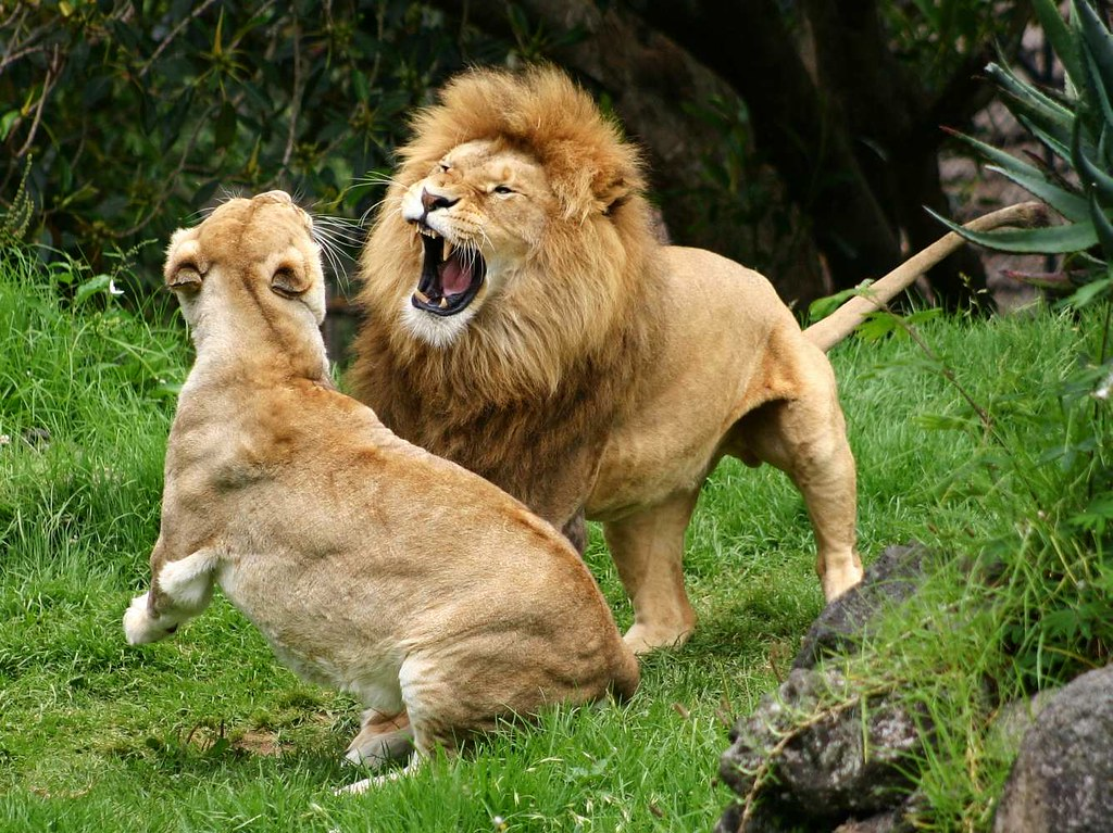What do white lions eat - photo#34