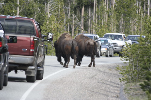 Bison on the Streets | by Manas Tungare