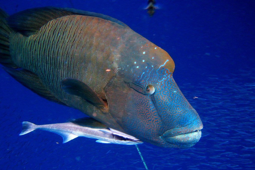 Wally the Giant Wrasse | Adult Humphead Maori Wrasse have ... | 1024 x 683 jpeg 268kB