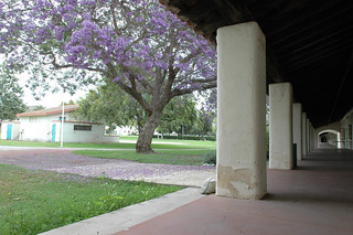 Jacaranda Trees in Bloom in North Quad | by California State University Channel Islands
