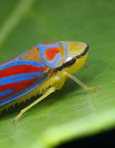 colorful leaf hopper by - photo #5
