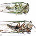 Tibicen tibicen (T) and Tibicen lyricen (B) cicadas compared. Ventral View.