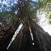 roysredwoods.jpg