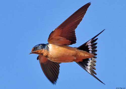 Barn Swallow In Flight (Shooting Techniques) | by Jerry Ting