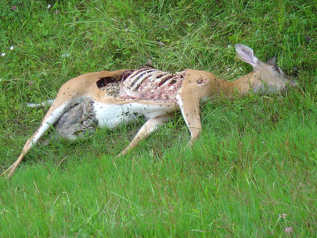 Dead Deer On The Side Of The Road Flickr Photo Sharing