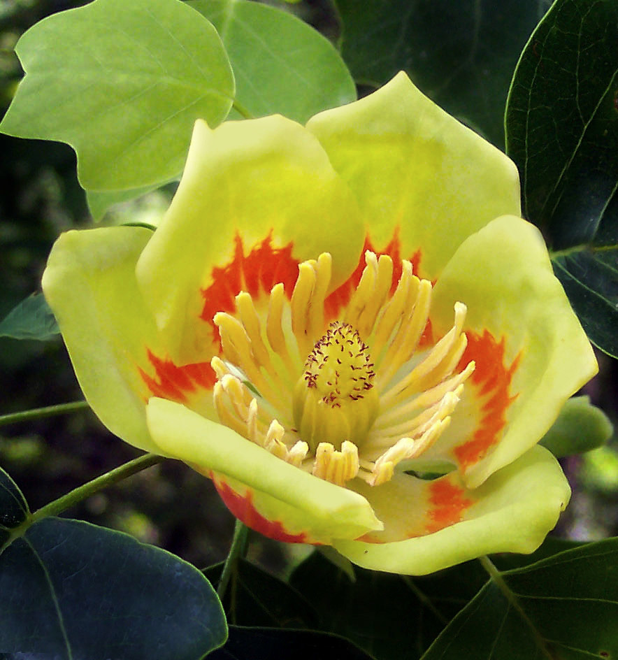Magnoliaceae : Liriodendron Tulipifera