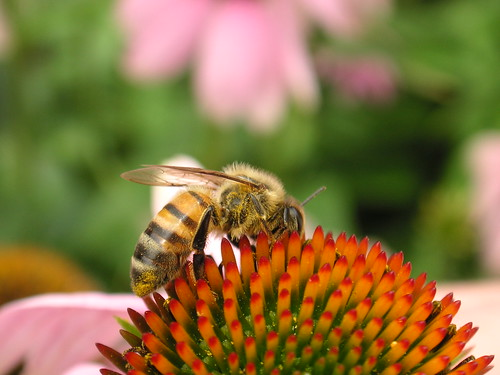 Bee on echinacea | by blmurch