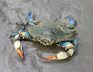 Female blue crab on the Gulf Coast | by jere7my
