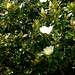 Magnolia in Bloom, Mount Vernon, Baltimore