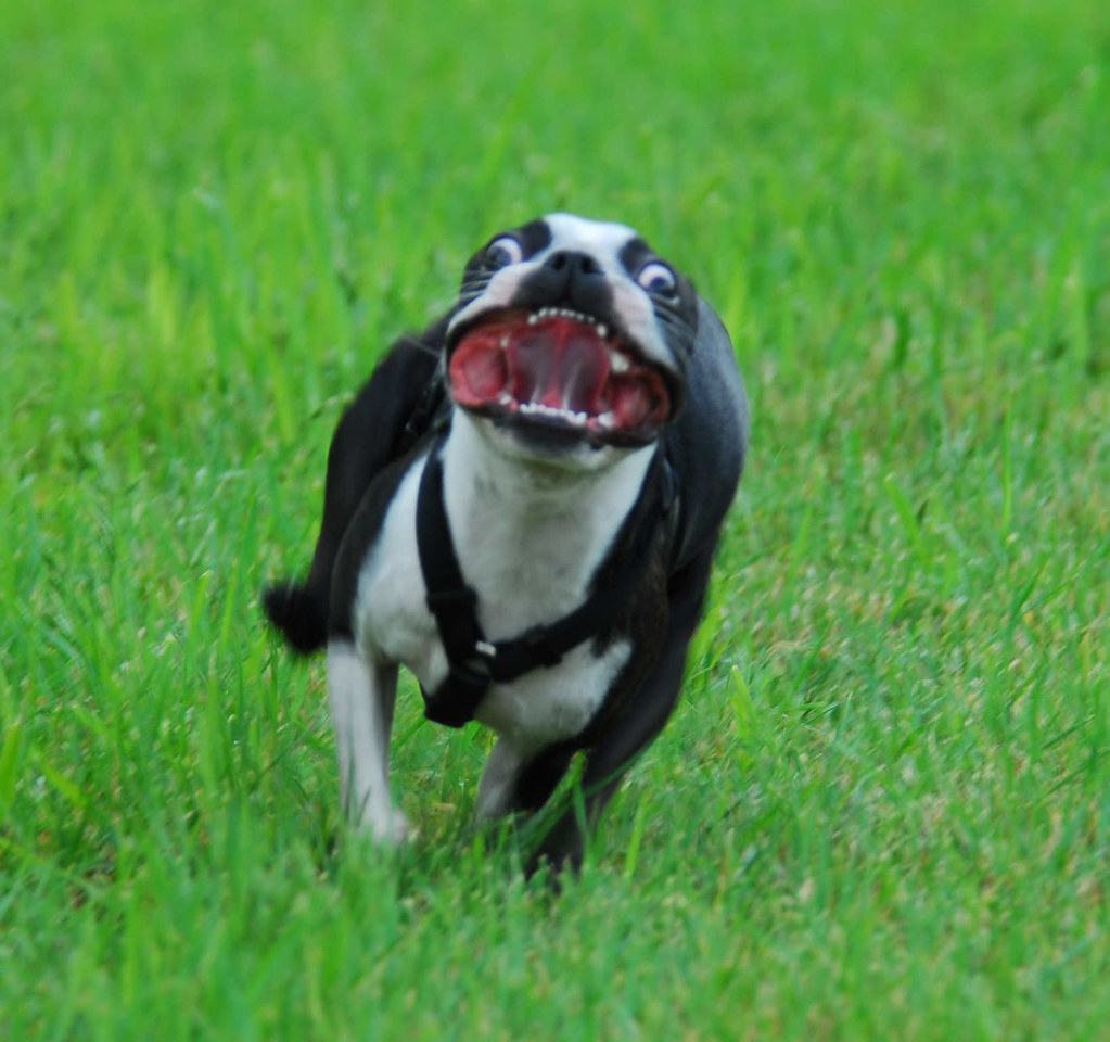 Mad Rad : BostonTerrier - reddit.com