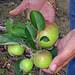 Manzanas en el trópico de Puerto Rico