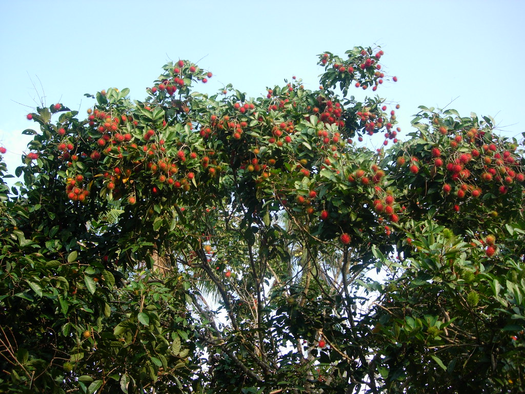 Rambutan Tree | Climb and get some watery juicy rambutan ...