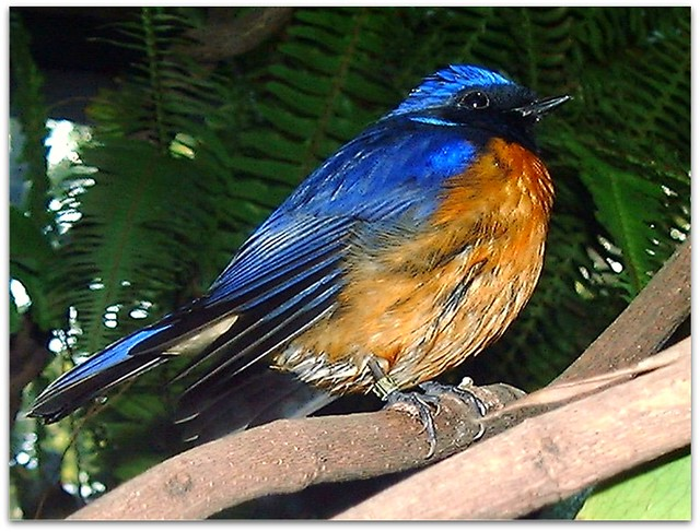 Blue Bird Of Happiness At The San Diego Zoo In Southern Ca