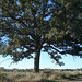 Gentle giant oak