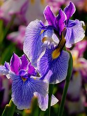Iris in backlight