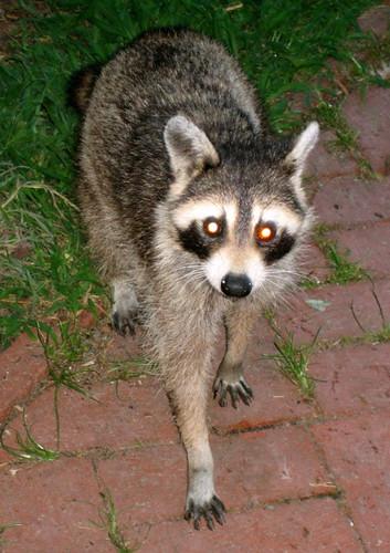 Pet Raccoon | Kristina Wright | Flickr Raccoons As Pets