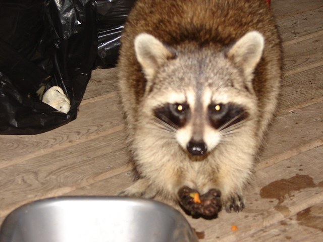 Raccoon Stealing Cat Food Commentary