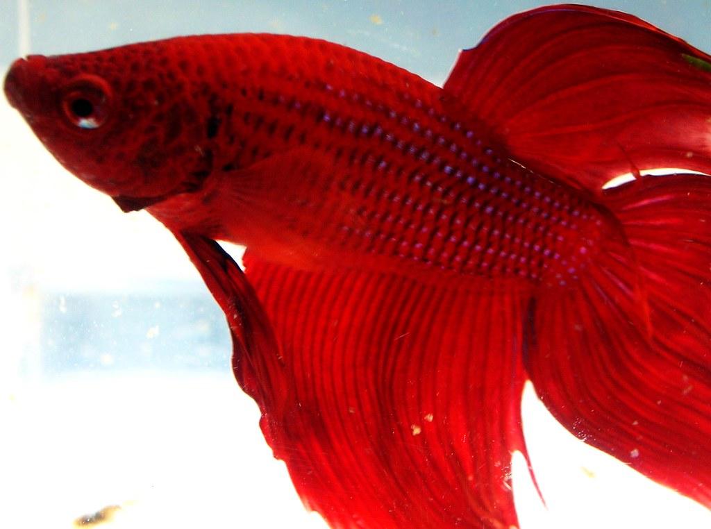 Red betta splendens siamese fighting fish andri ratman for Red betta fish