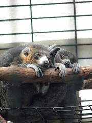 Sleepy Lemurs | by wickerman