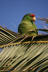 Green Cheeked Amazon in a Palm tree