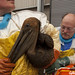 Brown Pelican Tagged At Gulf Rescue Center